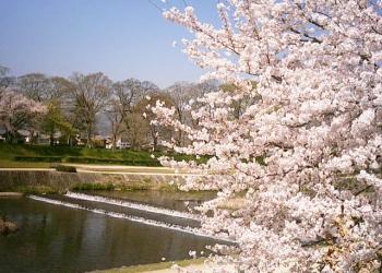 出町柳周辺 桜散策コース