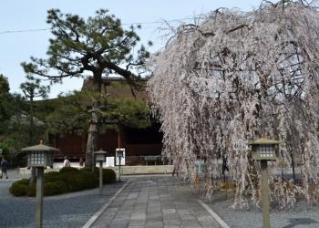 千本北大路から千本寺之内 桜散策コース
