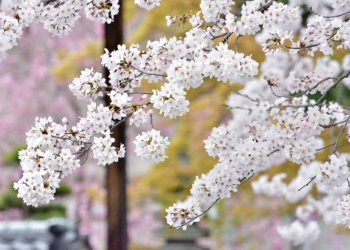 歩いて回ろう 桜散策 寺之内・西陣界隈