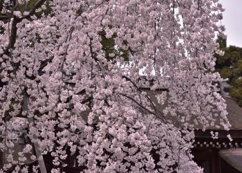歩いて回ろう 桜散策 千本北大路〜北野白梅町界隈