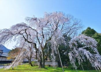 南東エリアで桜を愛でる 大石神社〜醍醐寺界隈