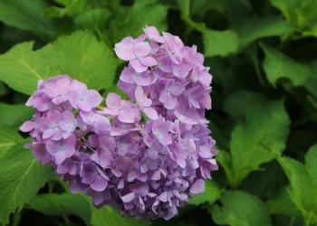 初夏を彩る紫陽花めぐりと伏見稲荷