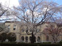 京都府庁旧本館 観桜祭