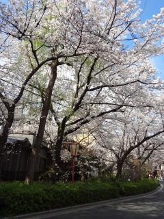 「下木屋町夜桜」ライトアップ