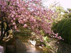 桜と光の帯の高瀬川