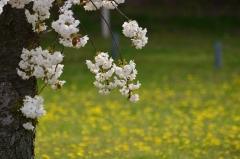 二条城観桜茶会