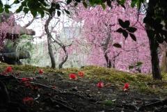 枝垂梅と椿まつり