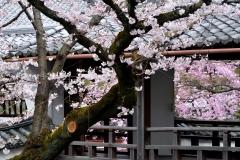 春の花見と特別拝観