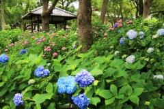 紫陽花苑の公開
