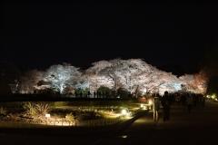 京都府立植物園 桜ライトアップ