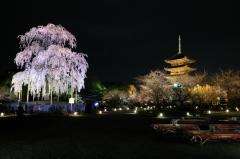 夜の特別公開 夜桜ライトアップ