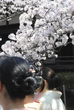 山科毘沙門堂観桜会